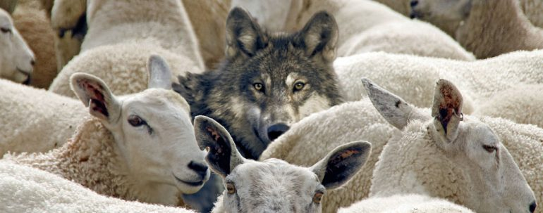 web-Wolf-with-Sheep-770x303 2
